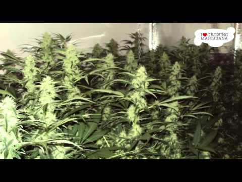 Growing Marijuana - WHITE WIDOW - Start To Finsh , 720p