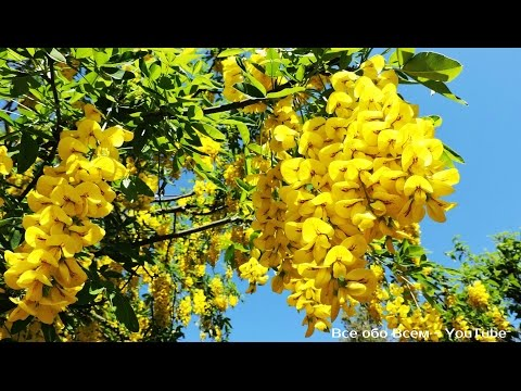 Карагана древовидная - Карагана - Лиственные деревья и