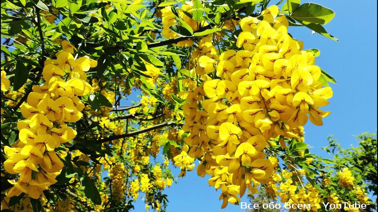 акация жёлтая фото