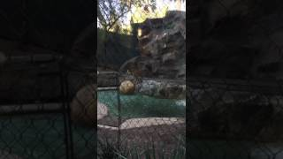 Leopards at Las Vegas zoo