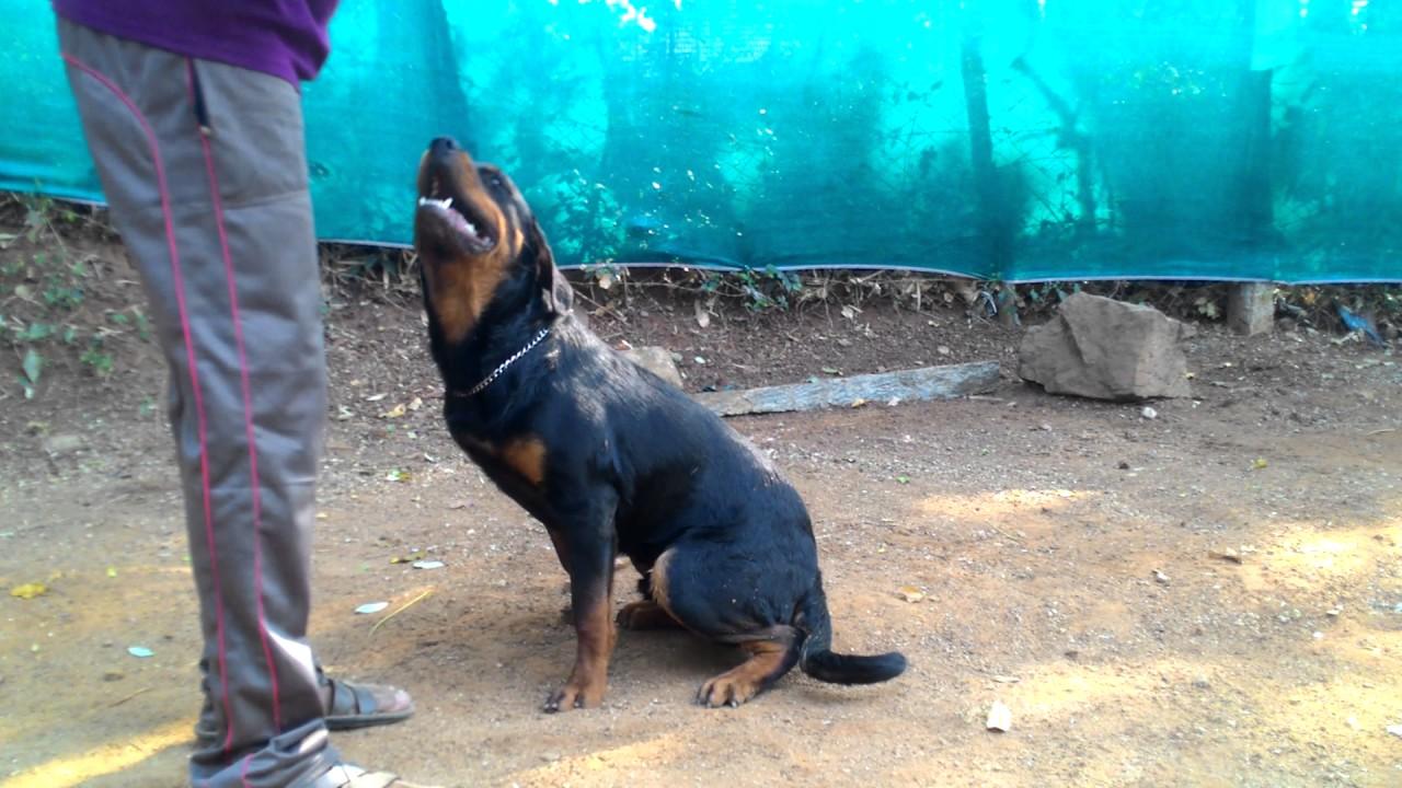 Running Dog Training K9 Dog Training Palakkad
