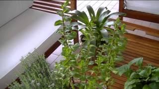 Как я выращиваю ароматные травы Ч1.И как не надо подстригать лаванду