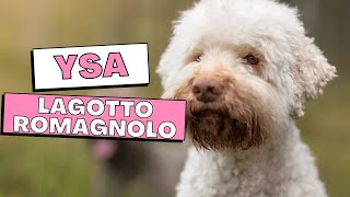 All Dogs Breeds - Lagotto Romagnolo Dog Breed Information And Personality
