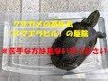 クサガメの寄生虫(ヌマエラビル)の駆除 の動画、YouTube動画。