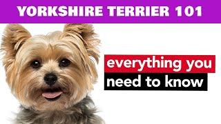 Yorkshire Terrier Facts  Dog 101