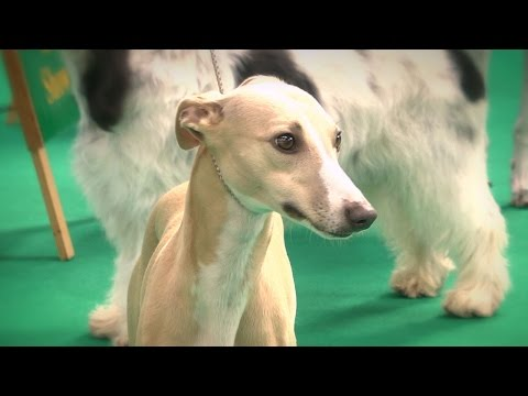 Houndshow 2016 - Best in Show FULL