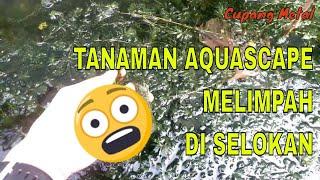 Tanaman Aquascape Di Sekitar Kita Egeria Densa Melimpah Di Selokan Youtube