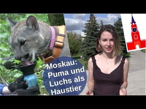 Moskau: Puma und Luchs als Haustier