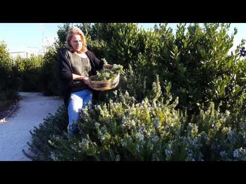 Rosemary's health benefits