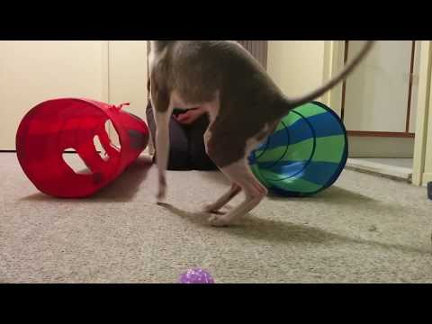 Cornish Rex cat doing cool tricks!