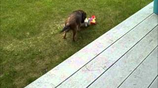 Sterling The Border Terrier Puppy Playing With His Toys