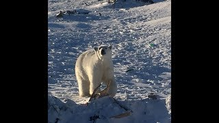 видео: На Новой Земле массовое нашествие белых медведей