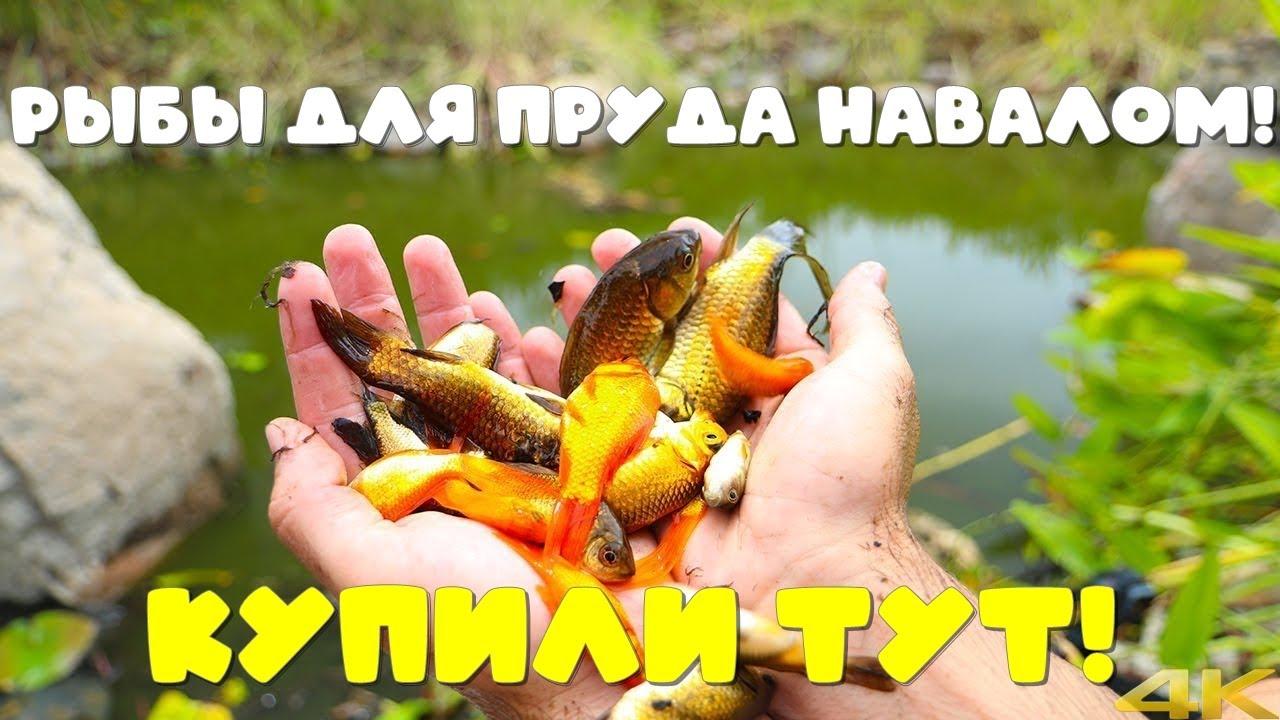 Интернет магазин рыбы для пруда и всего необходимого! Кормление цветных карпов кои, их можно купить!