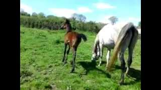 Iisis Kallice by om El Bahreyn with her 2012 filly by 7/8th Egyptian Black Arabian Cotswolds Eutopia Thumbnail