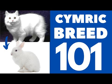 Cymric Cat 101 : Breed & Personality