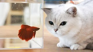 [Cat Live] My cats wonder how to eat my fish during I wash the fish tank……