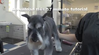 How To Groom A Schnauzer - Do-it-yourself Dog Grooming