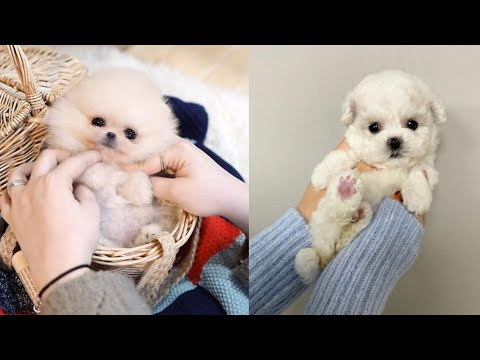 Cutest Teacup Puppies Video Compilation | Funny and Cute Dog #7