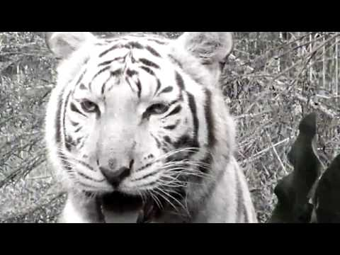 "White Tigers ""The Cruelty of White Tiger Breeding "" from YouTube · Duration:  4 minutes 34 seconds"