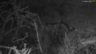 safarilive sunset safari nov 3 2017