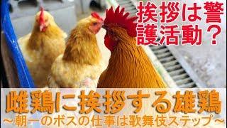 """2018年6月下旬の朝のこと。 雄鶏""""夏""""が庭でボス役を務めるの日です。 丸..."""