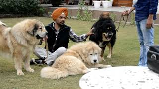 Tibetan Mastiff v/s Himalayan Sheep Dog