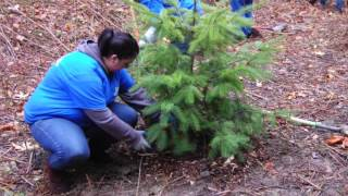 How To Plant Evergreen Conifers