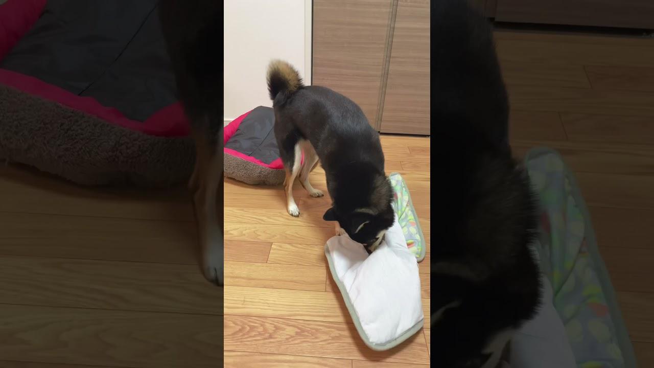 自分の寝床を破壊する柴犬【豆柴】#Shorts