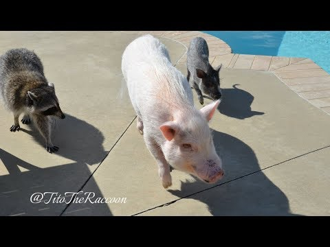 Tito and the Three Little Piggies Go Swimming!