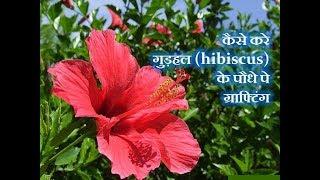 एक  गुड़हल  पे कई रंग के  गुड़हल  फूल कैसे तैयार करे / How to graft on Hibiscus plant #2