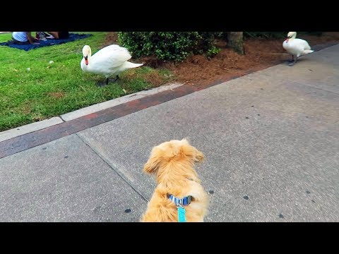 DOG VS ANGRY SWAN (Hilarious) - Super Cooper Sunday #144