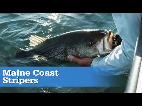 Maine Coast Stripers | S15 E02