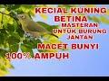 Masteran Kecial Kuning Betina Bikin Emosi Jantan  Mp3 - Mp4 Download