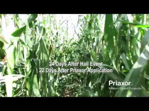 Priaxor Fungicide on Corn after Hail Event