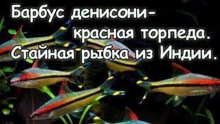 Барбус денисони.  Красивая стайная рыбка.  Содержание барбуса в аквариуме.