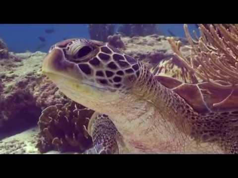 The Green Sea Turtle Chelonia Mydas
