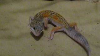 Enigma leopard gecko with balance disorder