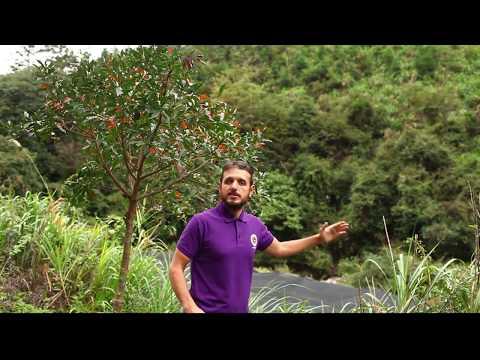 Organic Dwanwood Reishi-spore powder collection