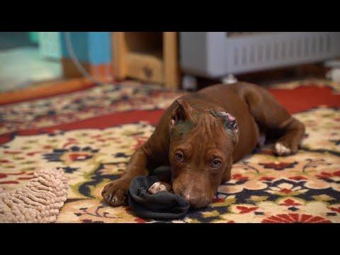 Видео: Щенок питбуля Конор после купировки ушей.