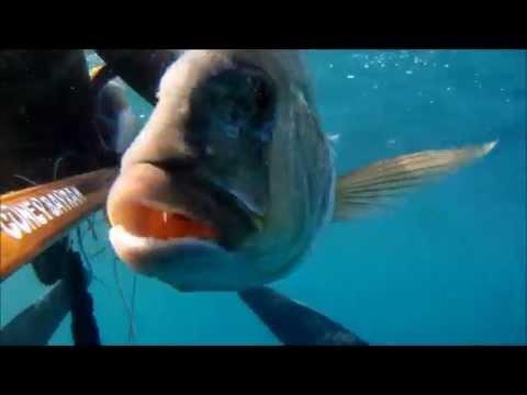 İri Sinaritin Egelisi, Dentex Dentex, Spearfishing, Güney BAYRAM