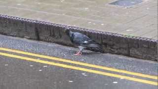 Pigeon with upside down head / Zombie Pigeon / Paramyxovirus PMV ?