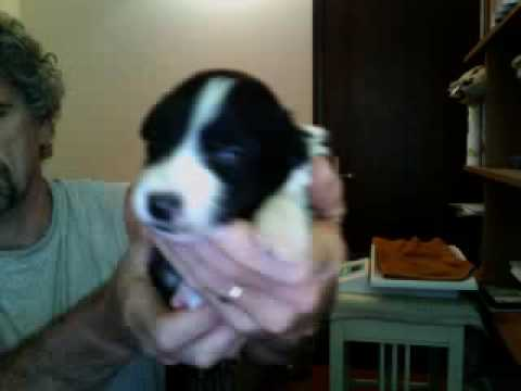border collie cuccioli 14 giorni ALBIREO www.petrademone.it PDT