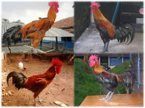 Kumpulan Suara Ayam Pelung Juara yang Panjang, Keras, Merdu dan Indah (FULL HD)