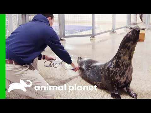 Halo The Seal May Be Pregnant | The Aquarium: A Deeper Dive