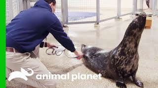Halo The Seal May Be Pregnant …