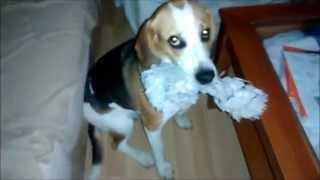 Así me recibe mi beagle cuando llego a casa...