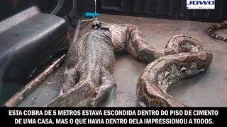 Esta cobra de 5 metros estava escondida dentro do piso de cimento de uma casa
