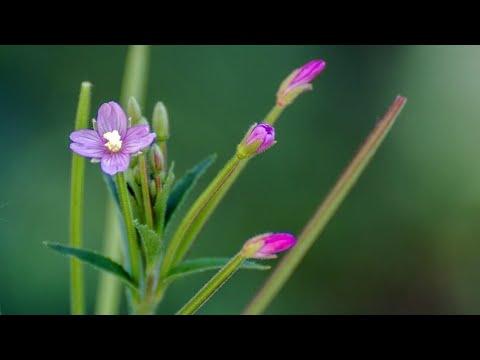 Vrbovica, lekovita biljka,