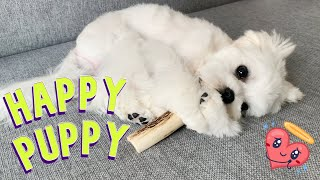 This puppy is so happy  Cute Maltese dog teething