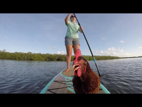 This Paddleboarding Chicken Lives a Better Life Than You